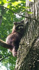 Raccoon pictur for web